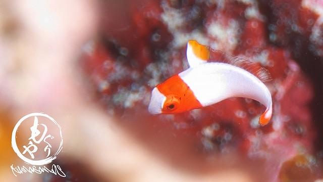 代わりにイロブダイ幼魚ちゃん、可愛かった♪