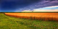 Kansas summer wheat field and storm