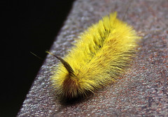 Yellow caterpillar - Sparshall's Moth- Long-tailed Bombyx  (Trichiocercus sparshalli).