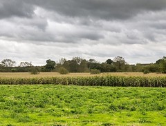 Maize :ear_of_rice: fields under stormy ⛈ skies. Buckinghamshire at its finest? Maybe, I love an autumn :fallen_leaf: Walk. #hiking #walk1000miles #walking #countryside #maize #fields #landscape #landscapelover #landscapelovers #landscape_captures #outdoo