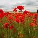 Poppy Fields Kent