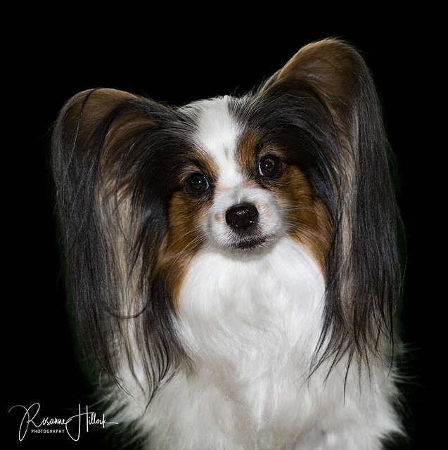 Our Papillon, Pink