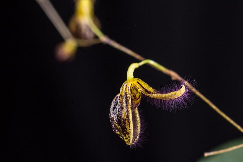 Miniatur-Orchideen Teil 4 - Seite 5 38007522442_f46077a5d1_c