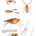 pseudoscorpions.pages