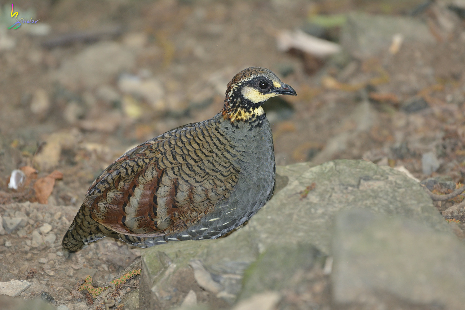 Taiwan_Hill_Partridge_5807