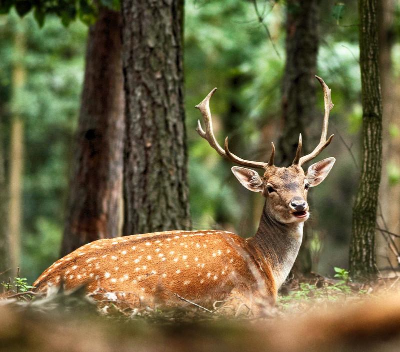 Fallow Deer. Credit Jiří Nedorost