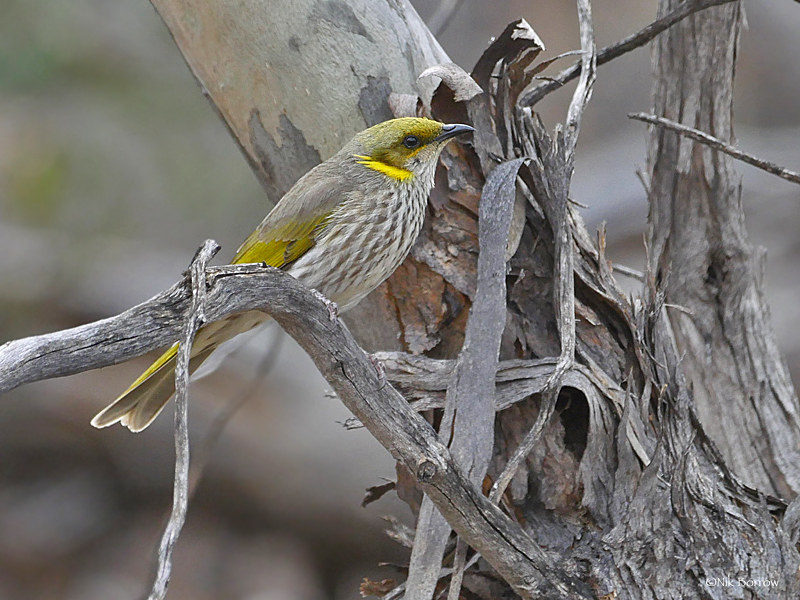 Yellow-plumed Honeyeater Ptilotula ornata by Nik Borrow