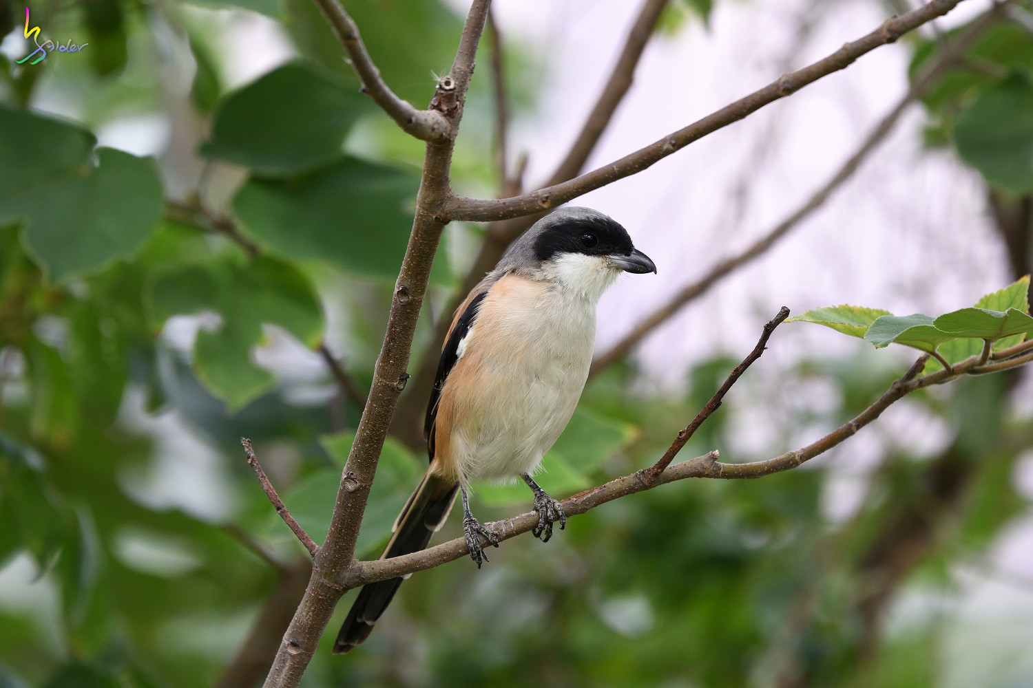 Long-tailed_Shrike_0876