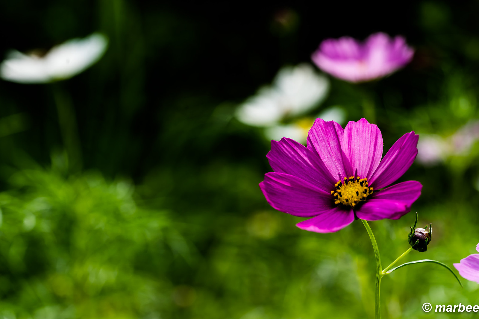 Cosmos bloomed