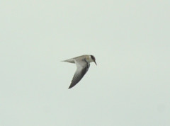 Least Tern - Michigan City IN. Harbor - September 19, 2017