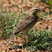 Small photo of African Pipit with a cricket