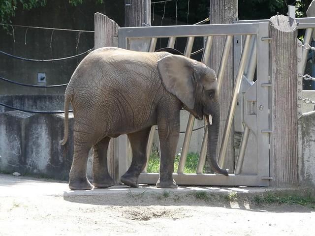 Afrikanischer Elefant, Tiergarten Schönbrunn