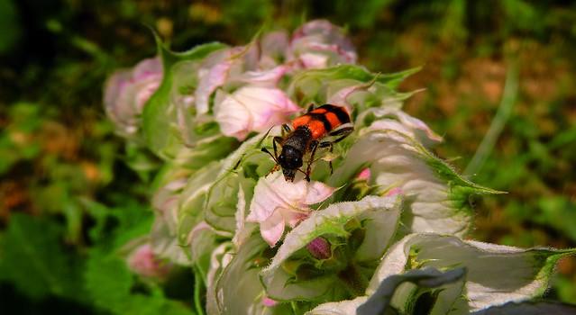 flovwer bee
