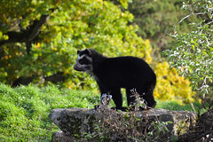 Andean Bear Cub (Tremarctos ornatus)