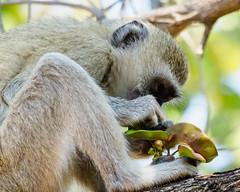 2017 Lbivingstone, green monkeys
