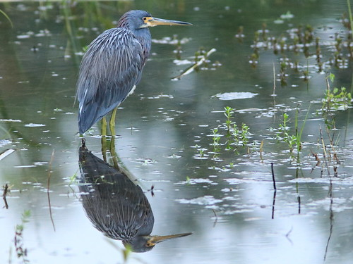 Tricolored Heron reflection 20171104