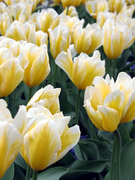 Tulips1.jpg-original