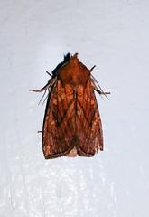 Papaipema inquaesita (Sensitive Fern Borer)