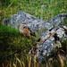 rock thrush