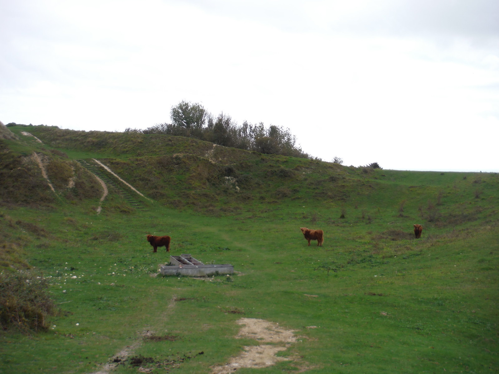 Bulls in Chalk Pit SWC Walk 93 - North Downs Way: Sandling to Folkestone or Dover