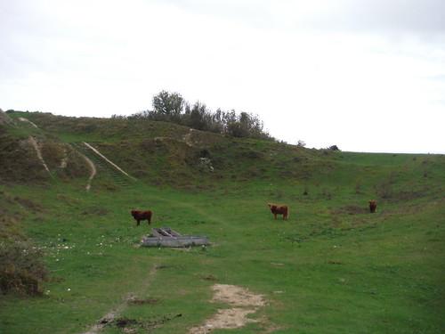Bulls in Chalk Pit