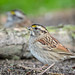 White-throated Sparrow Fledgling-40626.jpg