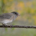 Dark-eyed Junco-41397.jpg
