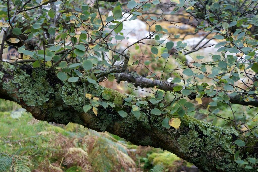 Un bouleau à l'automne sur l'île d'Arran.