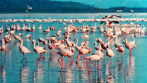 pink flamingos at Nakuru. From Africa Overland Tours: What You Need to Know