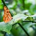 Butterfly #52.