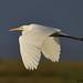 great white egret 2 2017 in flght