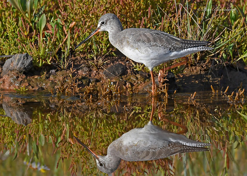 Spotted Redshank (explored)