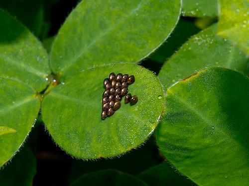 eiablage eier ei eg eggs mindo ecuador jardín ecobotánico eco botanico leaffooted bug coreidae