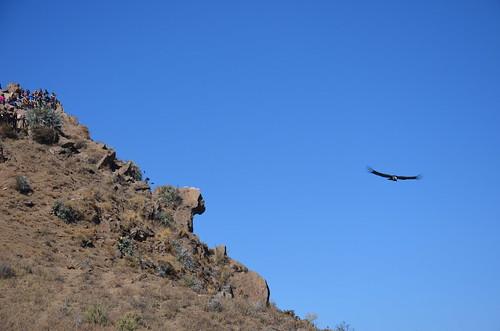 Ein Kondor fliegt unter der Aussichtskanzel vorbei.