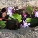 Wall flowers, Widcombe Hill