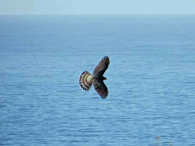hawk flies by