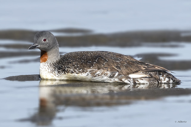 Red-throated Loon / Plongeon catmarin