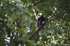 Adult male white-thighed colobus