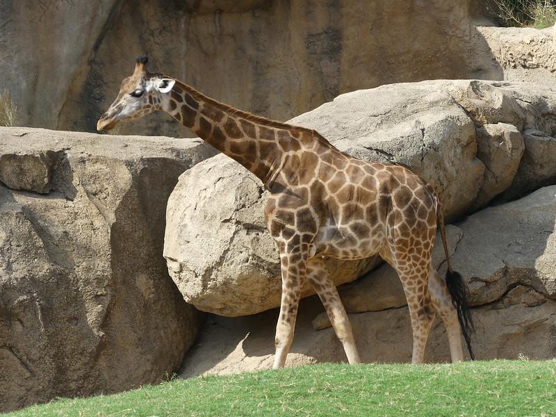 Giraffe P1460254