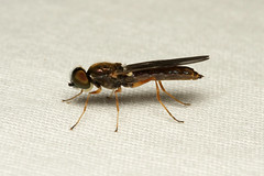 Sarginae sp. (Soldier Fly) - Everett WA