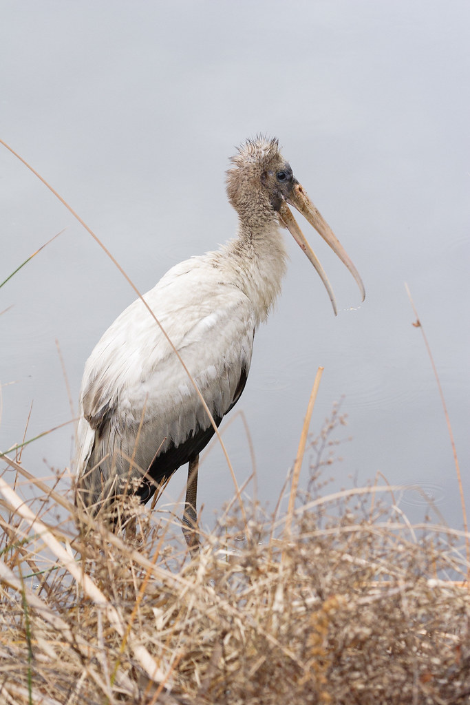 A juvenile wood stork at the edge of the freshwater lagoon at Huntington Beach State Park in South Carolina