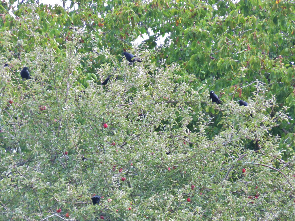 Crows in an apple tree