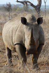 Walking with White Rhino, Mkhaya (16)