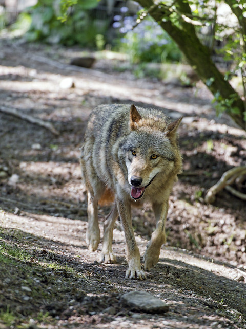 Wolf walking and showing tongue