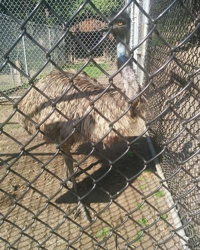 Emu of High Park #toronto #highpark #highparkzoo #birds #emu #paleognathae #latergram