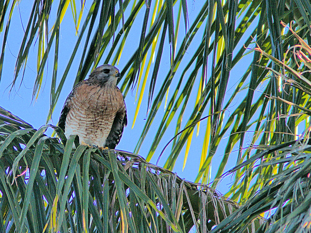 Red-shouldered Hawk 20171019