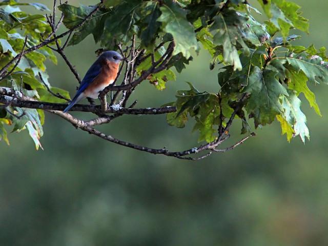 Eastern Bluebird 20171005