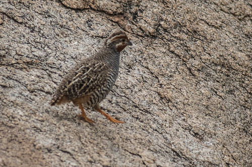 Jungle Bush Quail male