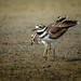 Pair of Kildeer