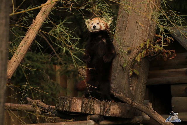 Eisbär Fiete im Sosto Zoo 30.09.2017 040